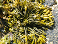 Pelvetia canaliculata